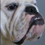Bulldog Readership Jumps 55 per cent